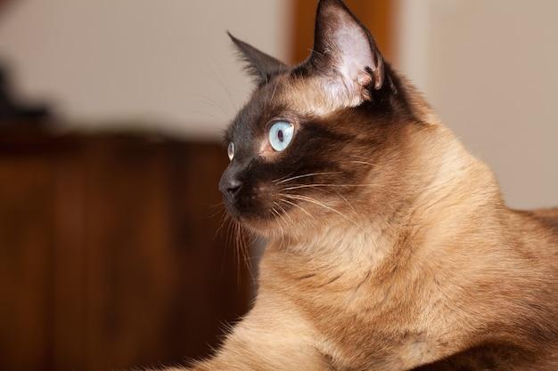 Portret ładny kot rasy syjamskiej o pięknych niebieskich oczach.