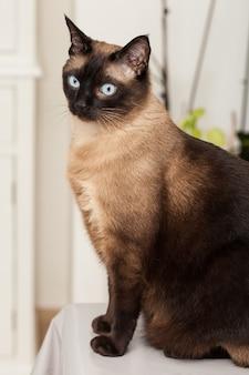 Portret ładny kot rasy syjamskiej z pięknymi niebieskimi oczami.