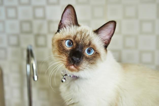 Portret ładny kotek syjamski o niebieskich oczach