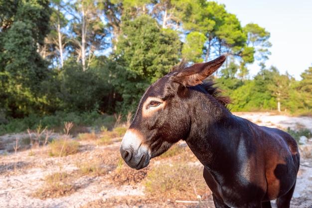 Portret ładny młody osioł. głowa osła. minorka, baleary, hiszpania