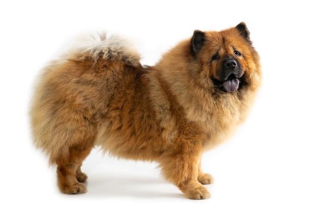 Portret ładny pies chow chow z wystającym językiem na białym tle