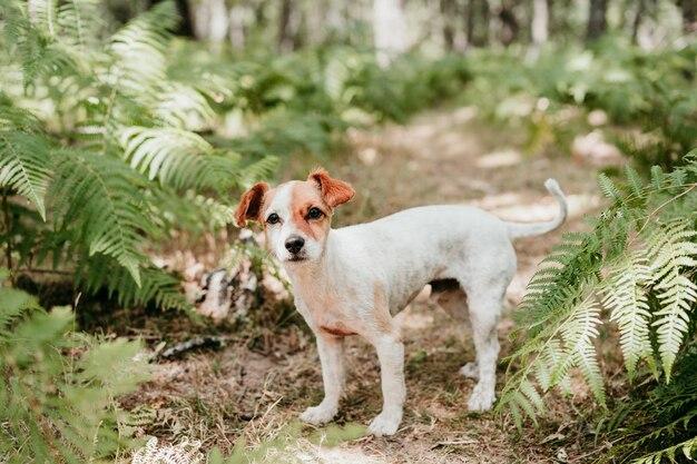 Portret ładny pies jack russell stojący w lesie wśród zielonych liści paproci. przyroda i zwierzęta
