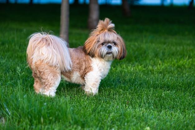 Portret ładny pies shih tzu na spacer w parku