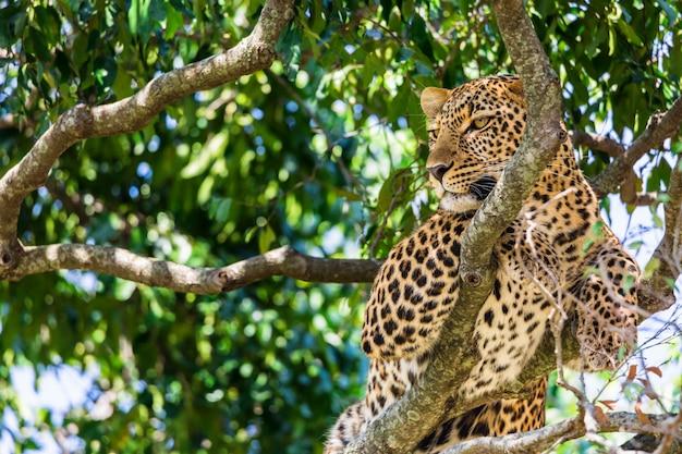 Portret lampart na drzewie wśrodku masai mara parka narodowego rezerwy.