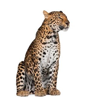 Portret lamparta, panthera pardus, stojący