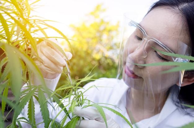 Portret lekarza sprawdzającego i analizującego rośliny konopne, badanie marihuany, olej cbd, koncepcja ziołowej medycyny alternatywnej.