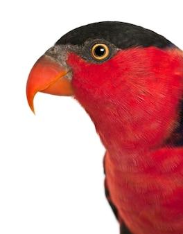 Portret lory czarnogłowej, lorius lory, znanej również jako lory zachodnia czarnogłowa lub trójkolorowa lory, papuga przed białym tłem