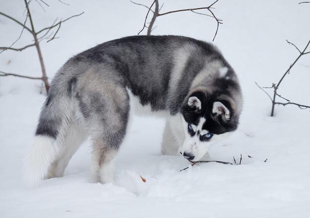 Portret łuskowaty szczeniak w zimie w śniegu.