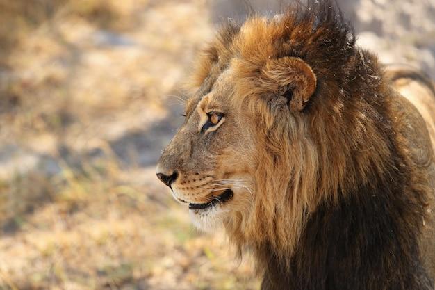 Portret lwa afrykańskiego w ciepłym świetle