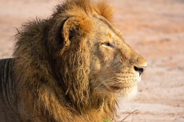 Portret lwa safari w afryce uganda
