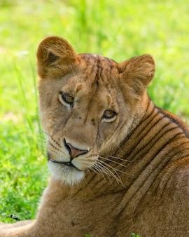 Portret lwicy safari w afryce uganda