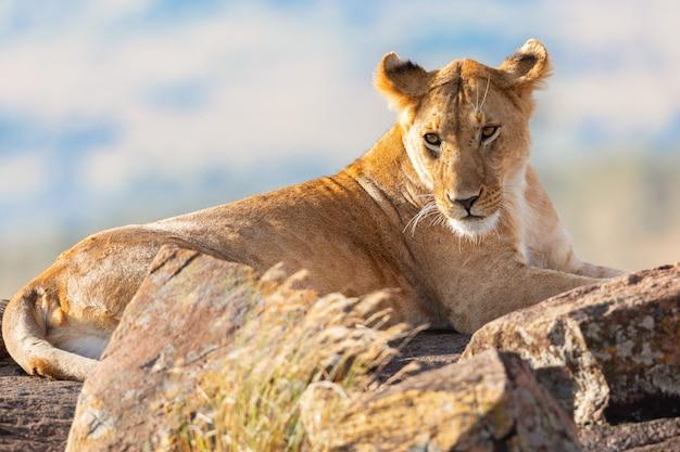 Portret lwicy w parku narodowym masai mara w kenii.