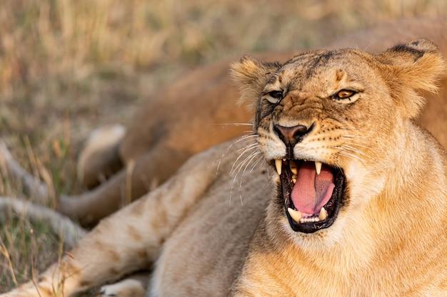 Portret lwicy z otwartymi ustami w parku narodowym masai mara w kenii. dzika przyroda zwierząt.
