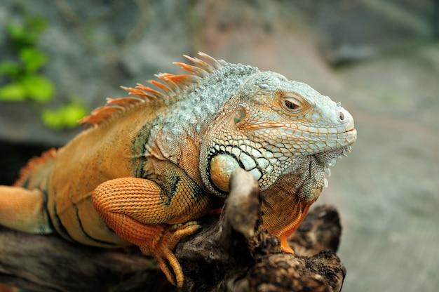 Portret makro na głowie iguany