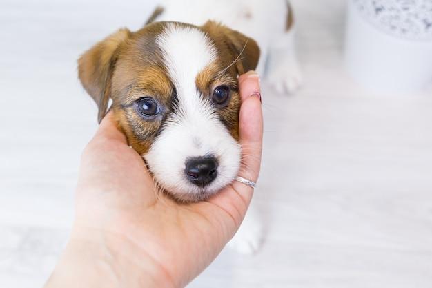 Portret małego, słodkiego szczeniaka jack russell terrier.