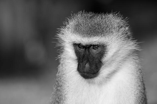 Portret małpy na sawannie kenii