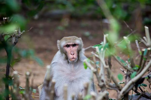 Portret małpy rhesus w pobliżu roślin, odwracającej wzrok w kamerę