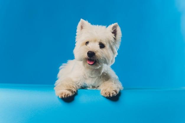 Portret maltański lapdog portret makro mały biały pies.