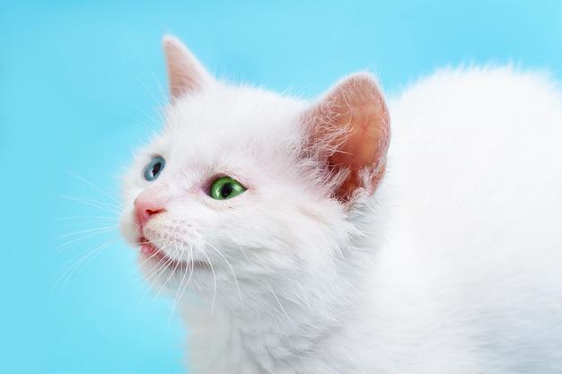 Portret mały biały kotek z niebieskimi i zielonymi oczami na niebieskim tle