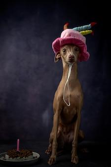 Portret mały włoski charta pies z wszystkiego najlepszego z okazji urodzin kapeluszem