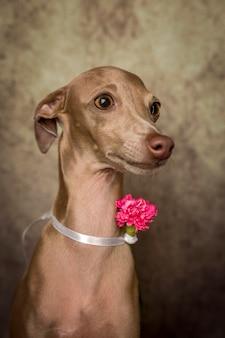 Portret mały włoskiego charcica pies
