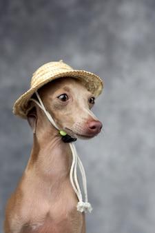 Portret mały włoskiego greyhound pies. kostium. kapelusz