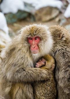 Portret matki z dzieckiem makak japoński. zbliżenie. japonia. nagano. jigokudani monkey park.