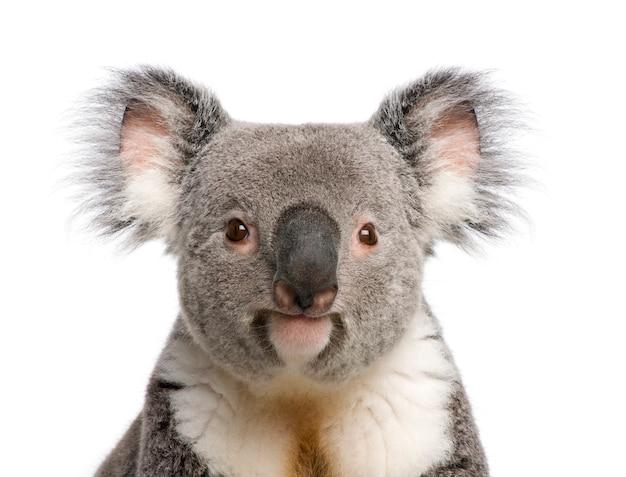 Portret męski niedźwiedź koala, phascolarctos cinereus, na białym tle,