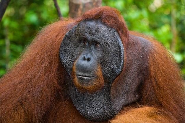 Portret męskiego orangutana. zbliżenie. indonezja. wyspa kalimantan (borneo).