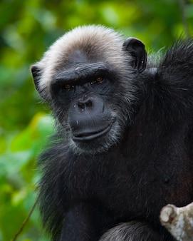 Portret mężczyzny szympansa z bliska