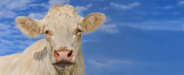 Portret młoda biała krowa na nieba tle