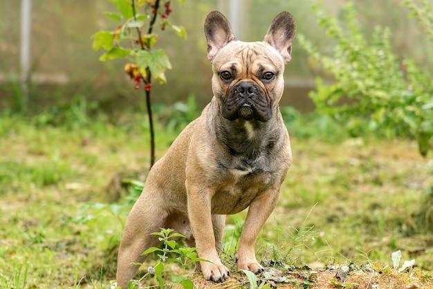 Portret młodego brązowego buldoga francuskiego, pozowanie na kamery. pies czystej rasy na zewnątrz.