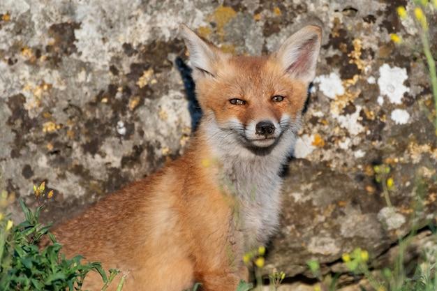 Portret młodego foxa. vulpes vulpes, z bliska.