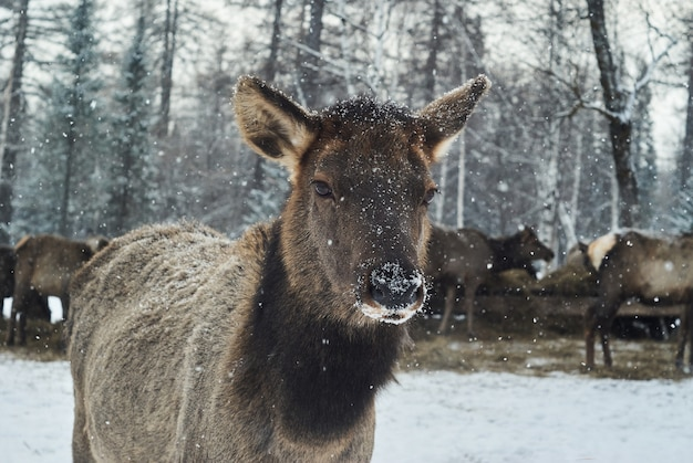 Portret młodego jelenia na zimowej farmie leśnej jelenia podczas opadów śniegu