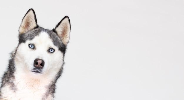 Portret młodego piękny zabawny pies husky siedzi na na białym tle.
