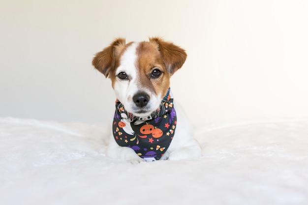 Portret młodego ślicznego małego psa pozuje na łóżku z halloween bandanami