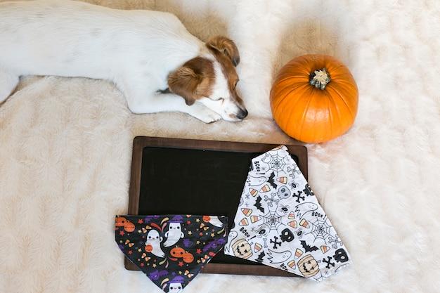 Portret młodego ślicznego małego psa pozuje na łóżku z halloween chustkami, banią i blackboard. wewnątrz