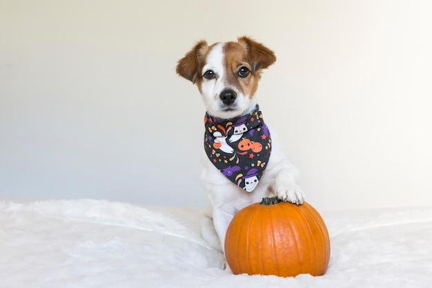 Portret młodego ślicznego małego psa pozuje na łóżku z halloweenową chustką i banią. wewnątrz