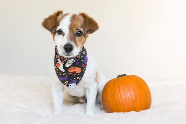 Portret młodego ślicznego małego psa pozuje na łóżku z halloweenową chustką i banią