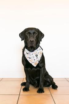 Portret młodego ślicznego pięknego czarnego labradora jest ubranym halloween bandany