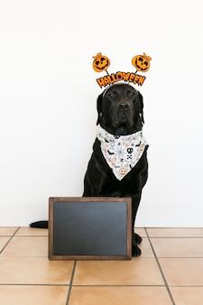 Portret młodego ślicznego pięknego czarnego labradora jest ubranym halloween diadem i bandany. wewnątrz. pusty blackboard przygotowywający dla copyspace