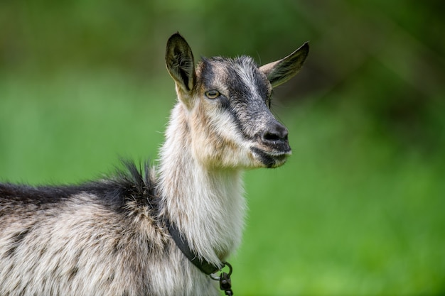 Portret młodej kozy z bliska na letniej zielonej łące
