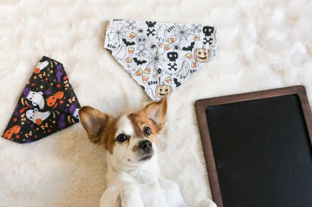 Portret młody śliczny mały pies pozuje na łóżku z halloween bandanami i blackboard. wewnątrz
