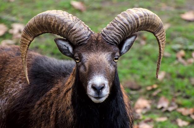 Portret muflona z kozła górskiego z dużymi rogami