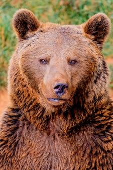 Portret niedźwiedzia brunatnego