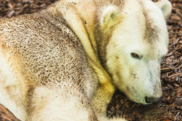 Portret niedźwiedzia polarnego leżącego na ziemi