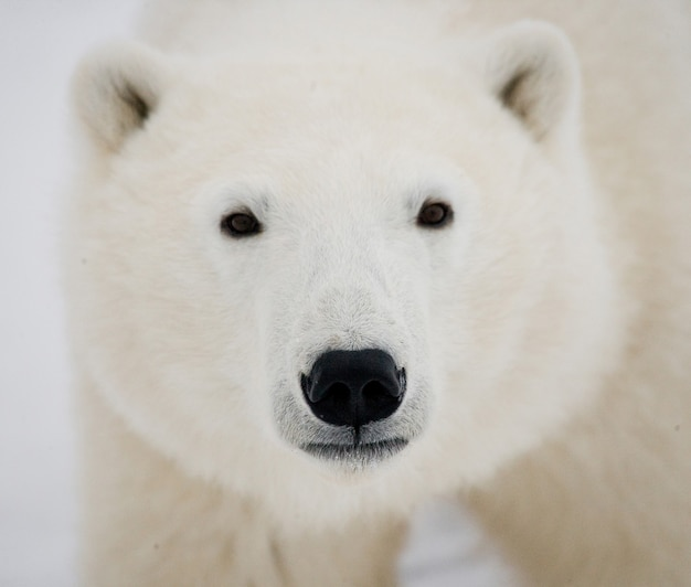 Portret niedźwiedzia polarnego zimą