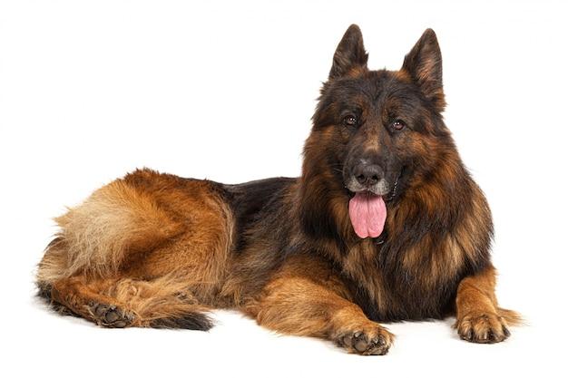 Portret niemiecki pasterski pies odizolowywający na białym tle