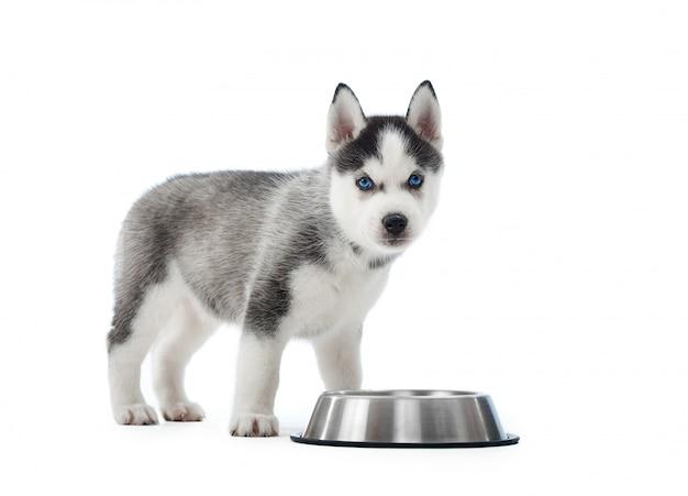 Portret niesionego i uroczego szczeniaka husky syberyjskiego stojącego w pobliżu srebrnego talerza z wodą lub jedzeniem. mały zabawny piesek o niebieskich oczach, szaro-czarnym futrze. .