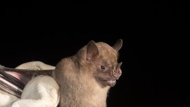 Portret nietoperza brazylijskiego, nietoperza owocożernego, gatunku pochodzącego z ameryki południowej